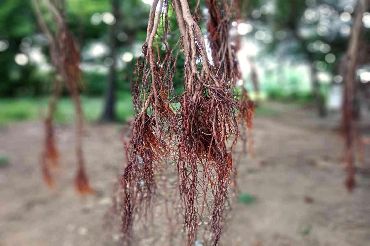 Banyan Tree Bark Powder_diexports