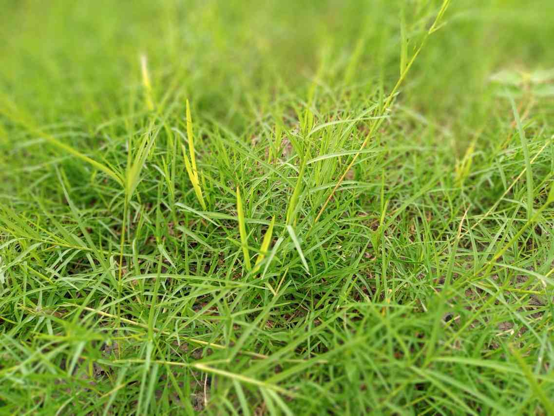 Bermuda Grass Powder_diexports