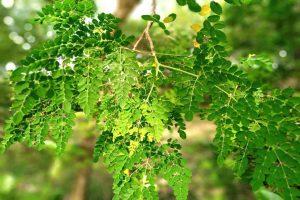 Drumstick Leaf Powder_diexports