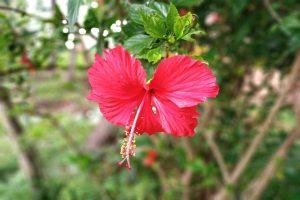 Hibiscus Flower Powder_diexports
