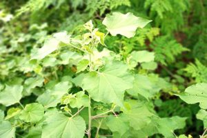 Indian Mallow Powder_diexports