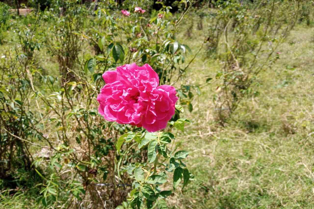 Rose Petals Powder_diexports