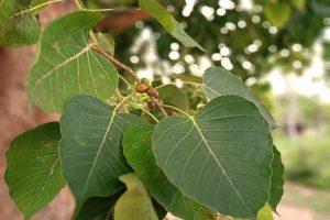 Sacred Fig Seed Powder_diexports