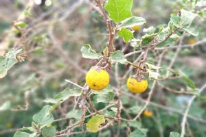 Yellow Fruit Nightshade Powder_diexports